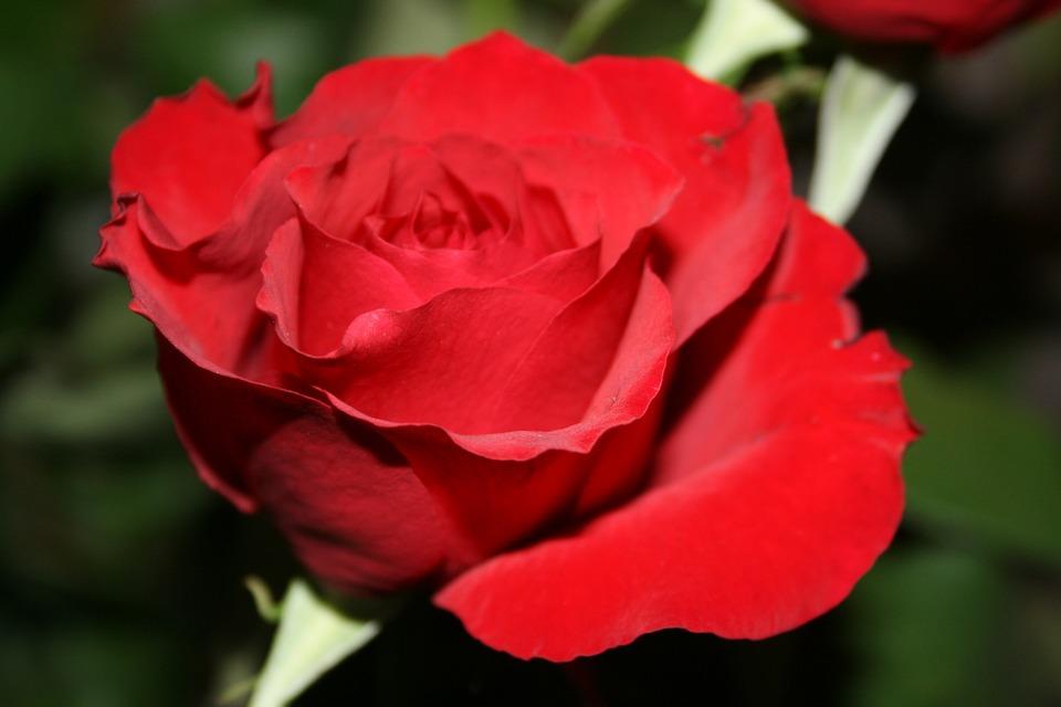 Roos als cadeau