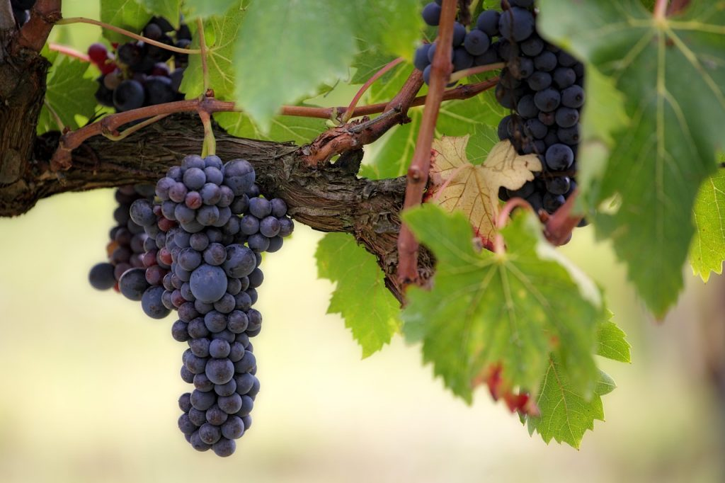 wijn-kenner-druiven