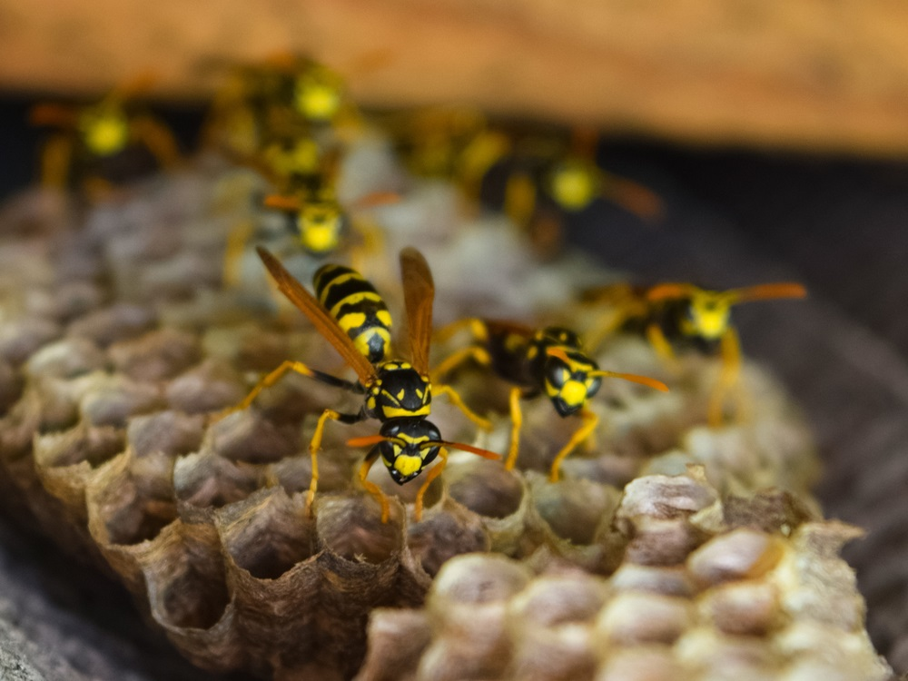 Diverse wespensoorten in Nederland