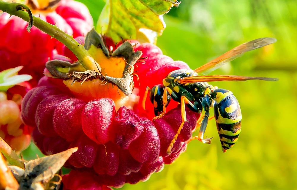 Hoe herken je een wespensoort
