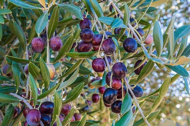 Olijfboom mediterrane planten