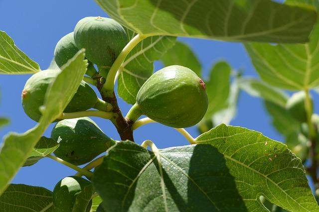 Vijgenboom mediterrane